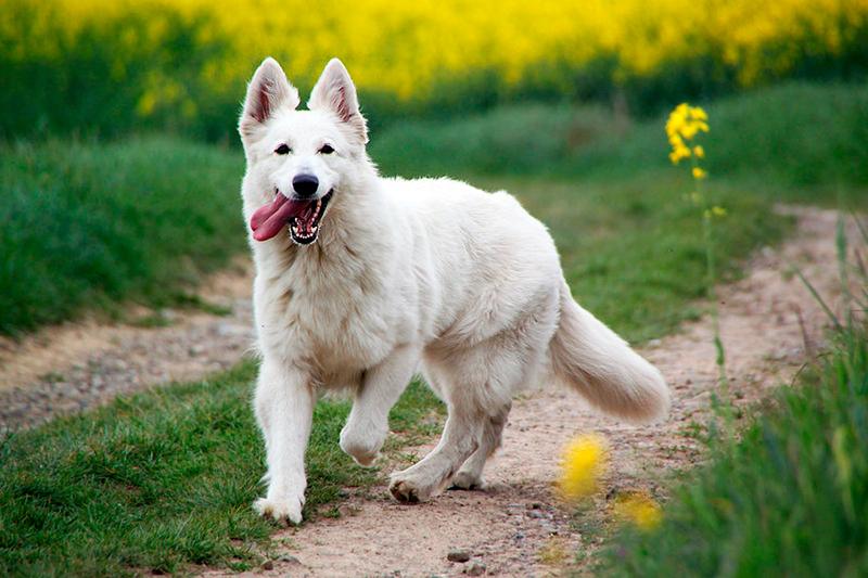 Белые овчарки отличаются безграничной преданностью и добродушием
