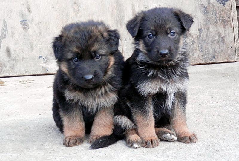 При покупке щенка немецкой овчарке внимательно осмотрите внешний вид и проверьте наличие необходимых документов