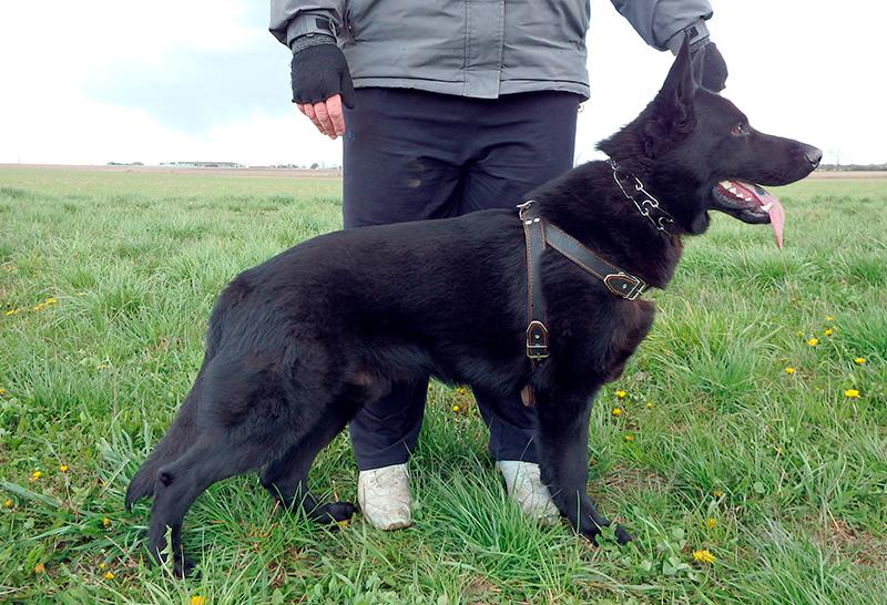 Черная немецкая овчарка обладает отличной памятью и отлично поддается дрессуре