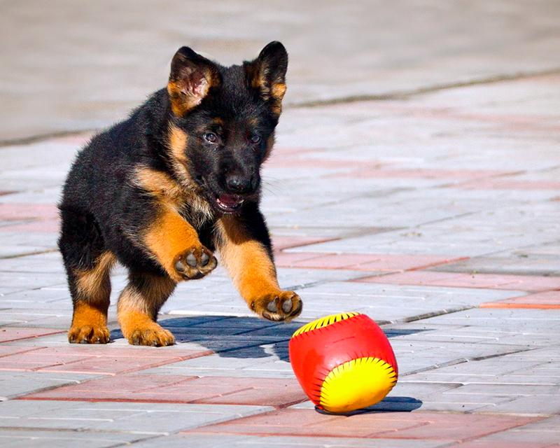 С самого маленького возраста щенок немецкой овчарки с удовольствием готов обучаться