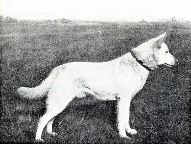 На территорию Франции немецкие овчарки были завезены ещё в 1920 году
