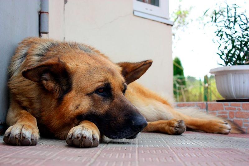 У немецкой овчарке есть предрасположенность к некоторым заболеваниям, поэтому периодически проходите осмотр у ветеринара