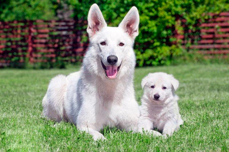 При покупке щенка белой немецкой овчарки определитесь с какой целью вы приобретаете будущего питомца