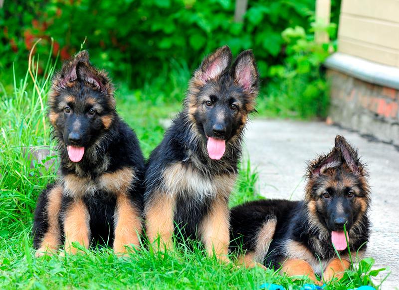 При покупке длинношерстной немецкой овчарки обязательно обратите внимание на состояние шерсти и активность щенка