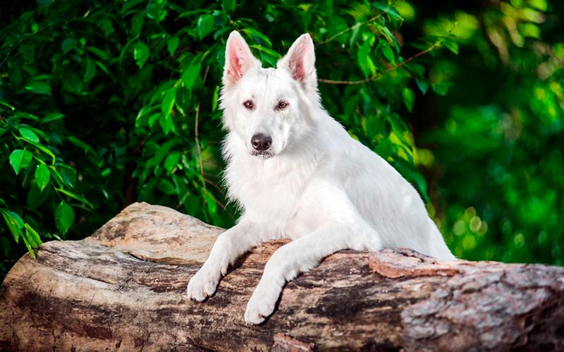 Купать белую немецкую овчарку рекомендуется не более 1 раза в 3 месяца