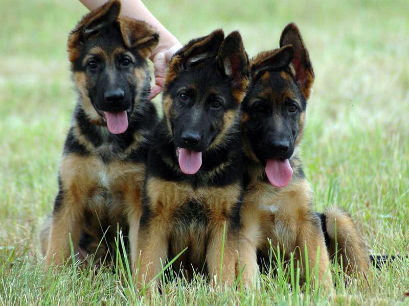 При выборе пола щенка немецкой овчарки подумайте с кем вы лучше уживетесь под одной крышей — кабелем или сукой