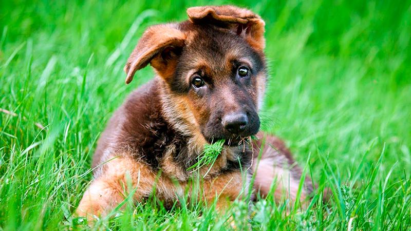 У племенных щенков немецкой овчарки может быть такой документ как керкарта