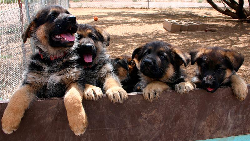 При покупке щенка немецкой овчарки, уточните сколько щенков родила сука