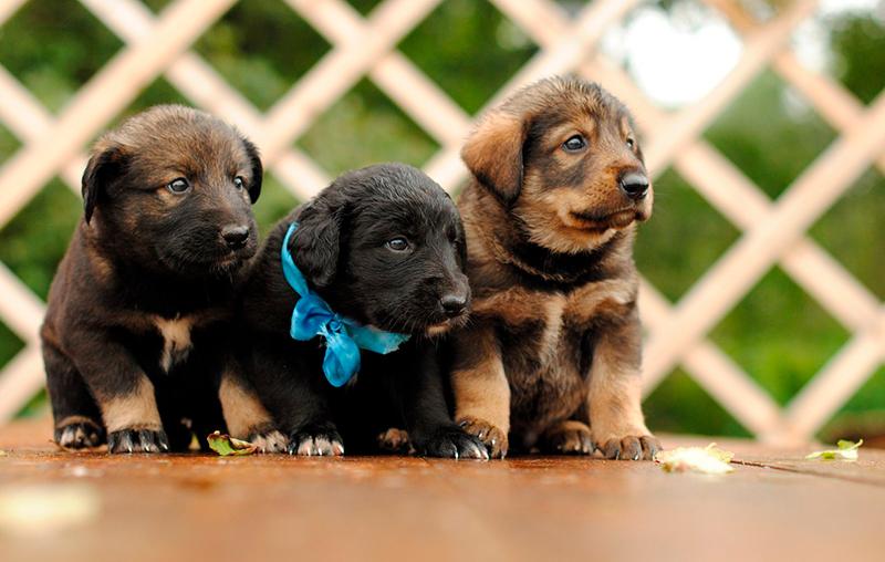 Для щенка-девочки немецкой овчарки подойдут мягкие и мелодичные клички