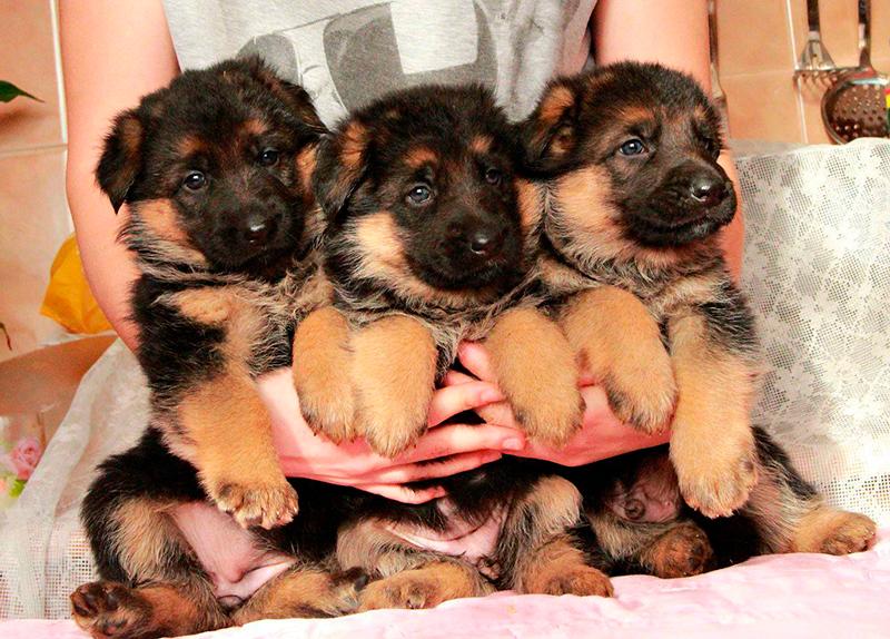 Для щенка-мальчика немецкой овчарки подойдут резкие и четкие имена