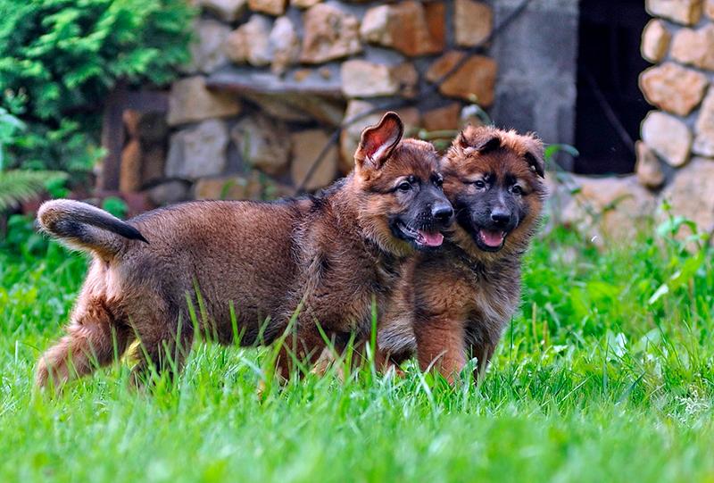 При выборе имени дл щенка немецкой овчарки, можно опираться на окрас шерсти