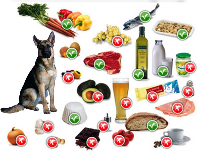 Существует ряд продуктов, которые запрещены немецким овчаркам, запомните их и никогда не давайте своим питомцам