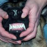 Смена зубов у немецкой овчарки