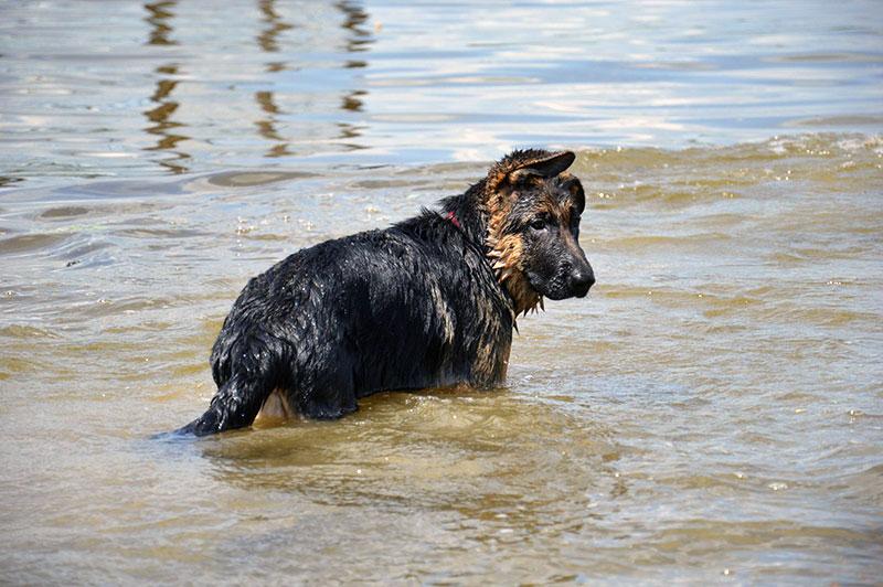 Щенка немецкой овчарки к купанию нужно приучать постепенно