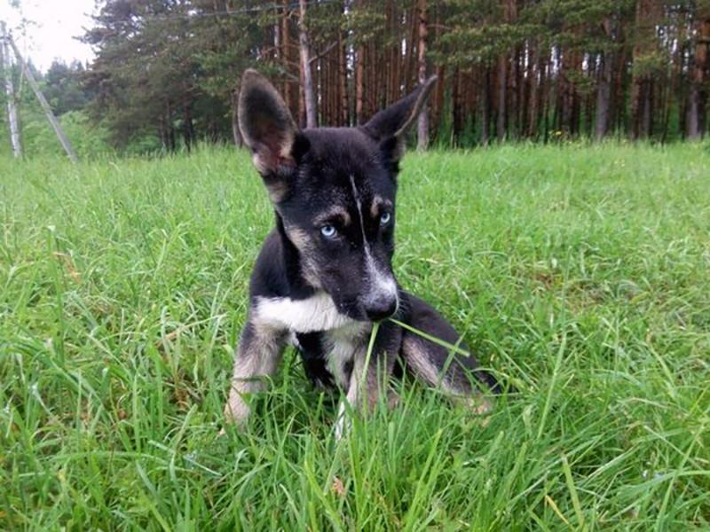 Стоимость щенков гибрида хаски с немецкой овчаркой начинаются от 10-15 тысяч рублей
