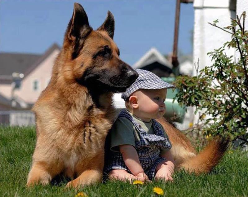 Немецкая овчарка очень любит детей